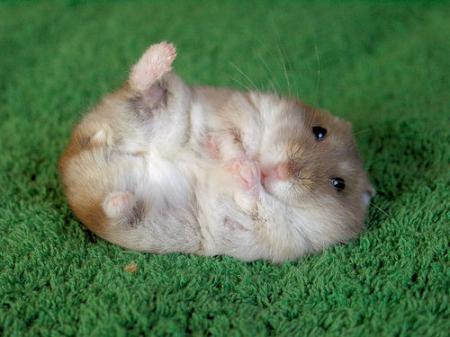 Милые и пушисрые - Страница 2 Hamster(2)